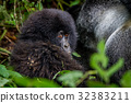 mountain gorilla Baby 32383211