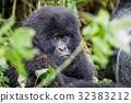gorilla wildlife gorillas 32383212