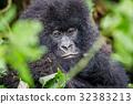 gorilla wildlife gorillas 32383213
