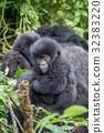 gorilla wildlife monkey 32383220