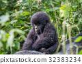 gorilla wildlife gorillas 32383234