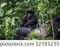 大猩猩 森林 樹林 32383235