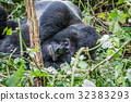Silverback Mountain gorilla laying down. 32383293