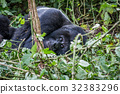 mountain gorilla jungle 32383296