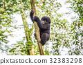山峰 大猩猩 叢林 32383298