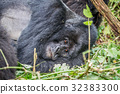 Silverback Mountain gorilla laying down. 32383300