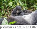 mountain gorilla silverback 32383302