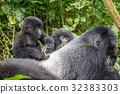 大猩猩 野生生物 嬰兒 32383303
