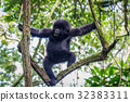 Baby Mountain gorilla climbing in a tree. 32383311