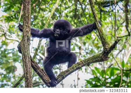 Baby Mountain gorilla climbing in a tree. 32383311