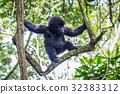 大猩猩 森林 樹林 32383312