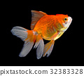 gold fish isolated on black background 32383328