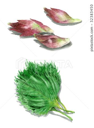 皱紫苏 绿色紫苏 神圣祝福 32383450