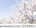 ลูกท้อ,บ๊วย,ดอกท้อญี่ปุ่น 32389631