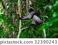 Dusky, leaf, monkey 32390243