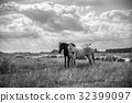 Two horses and sheep grazing on the meadow 32399097