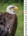 Close-up of bald eagle with beak open 32406321