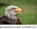 Close-up of bald eagle with open beak 32406322