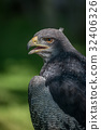 Close-up of black-chested buzzard-eagle half in su 32406326