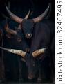Close-up of three Ankole-Watusi cattle in barn 32407495