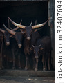 Four Ankole-Watusi cattle staring out from barn 32407694