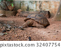 Sulcata tortoise  is one of the largest species 32407754