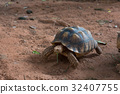 Sulcata tortoise  is one of the largest species 32407755