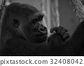 Mono close-up of gorilla head and hands 32408042