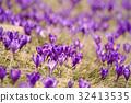 Spring crocus flowers 32413535