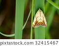 Image of Butterfly Moth (Lasiocampidae). 32415467