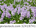 eichhornia crassipes, common water hyacinth, water hyacinth 32419741