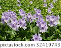 eichhornia crassipes, common water hyacinth, water hyacinth 32419743