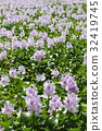 eichhornia crassipes, common water hyacinth, water hyacinth 32419745