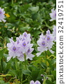 eichhornia crassipes, common water hyacinth, water hyacinth 32419751