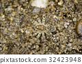 Image of River Huntress Spiders(Venatrix arenaris) 32423948
