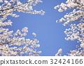 벚꽃 잔치 32424166