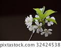 樱花 樱桃树 樱花盛开 32424538