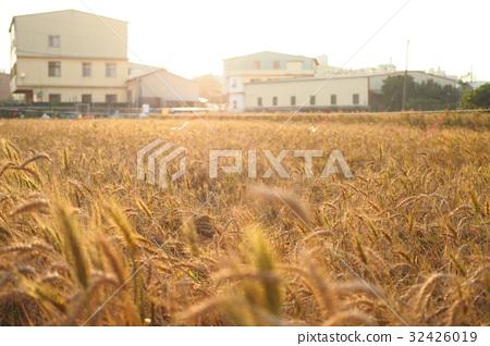 wheat 32426019
