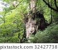 Kagoshima prefecture Yakushima Jomon cedar 32427738