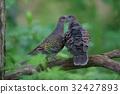 산비둘기 turtle dove 32427893