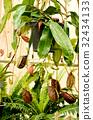 nepenthes ampullaria 32434133