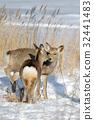 กวาง,สัตว์,ภาพวาดมือ 32441483
