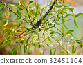 Mistletoe with whitw berries - Viscum album 32451104