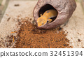 leopard gecko (Eublepharis macularius) lizard on sand 32451394