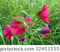 hollyhock, alcea rosea, bloom 32451555