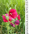 蜀葵 花朵 花卉 32451557