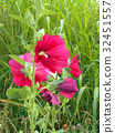 hollyhock, alcea rosea, bloom 32451557