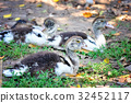 duck, bird, duckling 32452117