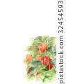 꽈리, 식물, 열매 32454593