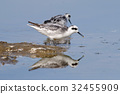 Red-necked Phalarope reflection Birds eating 32455909